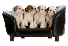 Litter of puppies Stock Photos