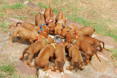Litter of puppies royalty free stock photography