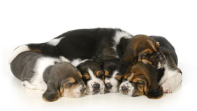 Litter of puppies Stock Photo