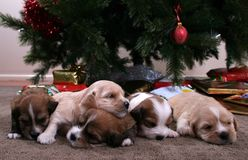 Litter of Puppies. A litter of puppies in front of a Christmas tree with presents Stock Images