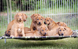 Litter of puppies Stock Image