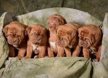 Litter of puppies Stock Images