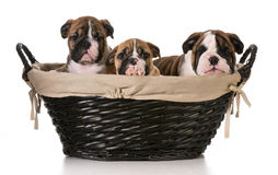 Litter of puppies Royalty Free Stock Images