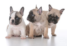 Litter of puppies Royalty Free Stock Image