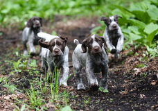 Litter of puppies. German shorthaired pointer litter running in the forest - 8 weeks old Royalty Free Stock Photos