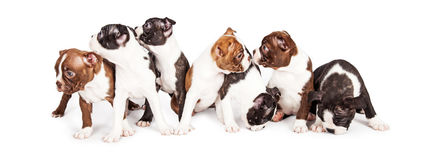 Litter of Puppies Looking Around Stock Photography