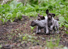 Litter of puppies playing Stock Photo