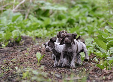 Litter of puppies playing Stock Photography