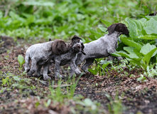 Litter of puppies playing Stock Image