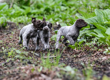 Litter of puppies playing Stock Images