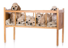Litter of puppies. Litter of seven american cocker spaniel puppies in a cradle Stock Photos