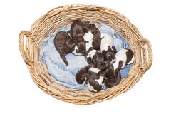 Litter of puppies - ten german shorthaired pointer puppies Royalty Free Stock Image