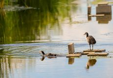 Two small chicken coot bathes in the middle of the sunny day stock images