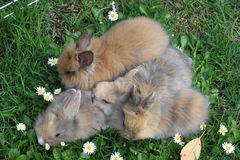Litter of rabbits royalty free stock image