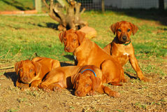 Litter Rhodesian puppies Stock Photos