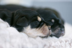 Litter of Schnauzer puppies Royalty Free Stock Photography