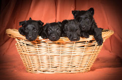 Litter of scottish terriers Royalty Free Stock Photography