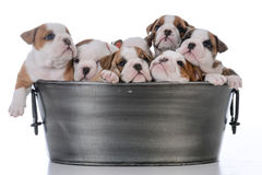 Litter of seven puppies. Litter of seven bulldog puppies in a wash basin on white background Stock Photos