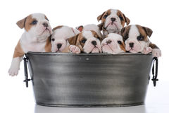 Litter of seven puppies. Litter of seven bulldog puppies in a wash basin on white background Stock Photography