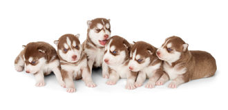Litter of Siberian cooper red husky puppies stock photography