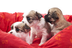 Litter of small chihuahua puppies in a red pet bed Royalty Free Stock Photos