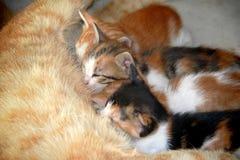 Litter of three cats sucking. Maternity, litter of three cats sucking Royalty Free Stock Image
