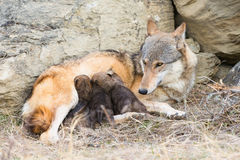 Litter of wolf pups nursing on mother Stock Images