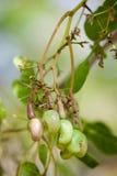 Littie owoc Anacardiaceae lub nerkodrzewu dokrętki Zdjęcia Royalty Free