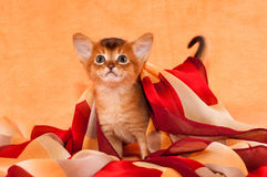 Little abyssinian kitten with headscarf Stock Photo