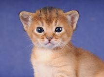 Little abyssinian kitten portrait Stock Photo