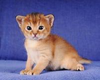 Little abyssinian kitten portrait. On blue sofa Stock Photos