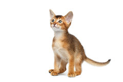 Little Abyssinian Kitty Sitting and Curious Looks Isolated White Background stock photo