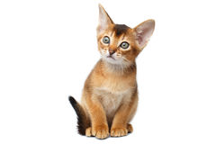 Little Abyssinian Kitty Sitting on Isolated White Background Stock Image