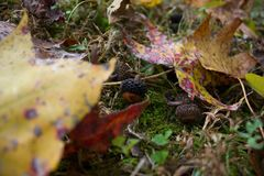 Little Acorns on the Ground during Autumn. Small acorns on the ground near some moss and small plants surrounded by colorful leaves that fell from trees Stock Photo