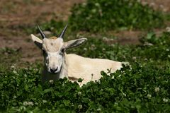 Little Addax. Baby addax resting in a grass Royalty Free Stock Photo