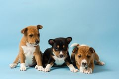 Three cute basenji puppies lined up in a row stock photos