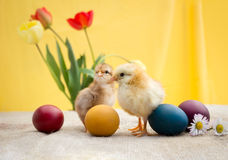 Little adorable Easter chicken Royalty Free Stock Images