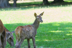 Little adorable fawn concentrated on forest sounds near its grazing mother deer Stock Photo