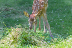 Little adorable fawn smelling green grass in summer meadow outdoors Royalty Free Stock Images