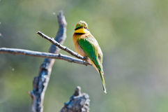 Little african bee eater Stock Images