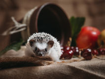 Little African Hedgehog Stock Photos