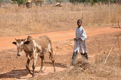 Little african shepherd. A young african shepherd with a very lean cow in the middle of african savannah Royalty Free Stock Image