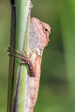 Little Agama lizard Stock Photos