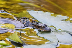 Little Alligator Royalty Free Stock Photos