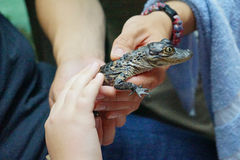 Little alligator hold in hand. Stock Photos