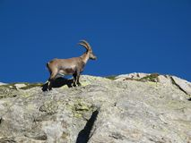 Little alpine ibex climbing on a rock Royalty Free Stock Photo