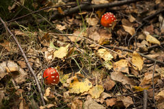 Little amanita muscaria or fly agaric mushroom Royalty Free Stock Images