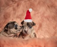 Little american bully puppy sniffing its santa claus brother royalty free stock images