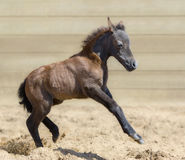 Little American miniature bay foal playful in sand. One month old. Side view Stock Image