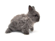 Little Angora bunny #1 Royalty Free Stock Photography